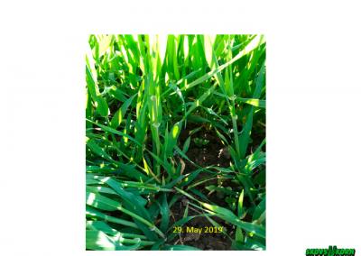 Malting barley Denmark 2019-8